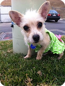 Yorkie, Yorkshire Terrier/Terrier (Unknown Type, Small) Mix Puppy for Sale in San Diego, California - Tiny PERLITA
