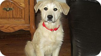 Anatolian Shepherd/Great Pyrenees Mix Puppy for Sale in Wooster, Ohio - Maya