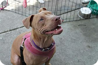 American Pit Bull Terrier Mix Dog for adption in Largo, Florida - Rosie