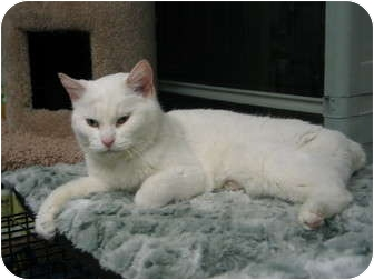 Manx Cat for adoption in West Dundee, Illinois - mimi