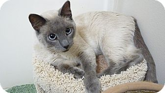 Siamese Cat for Sale in Bentonville, Arkansas - Samantha