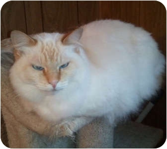Siamese Cat for adoption in Anchorage, Alaska - Saffron