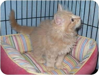 Domestic Shorthair Kitten for adoption in Colmar, Pennsylvania - Kittens!