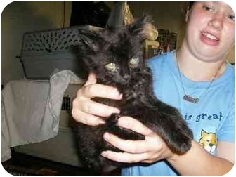 Domestic Longhair Cat for adoption in New Ringgold, Pennsylvania - Calan