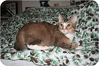 Domestic Shorthair Cat for adoption in SantaRosa, California - Pegasus
