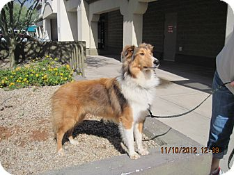 Sheltie, Shetland Sheepdog Puppy for Sale in apache junction, Arizona - Simba