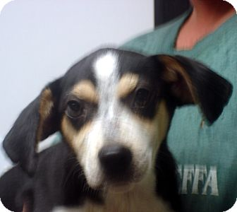 Beagle Mix Dog for adption in hagerstown, Maryland - Adam