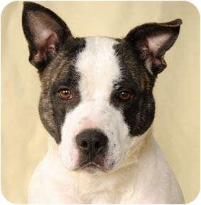 Achilles River Fox Basenji American Pit Bull Terrier Mix   Dog Breeds ...