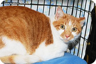 Domestic Mediumhair Cat for adoption in Lincoln, Nebraska - Wiley