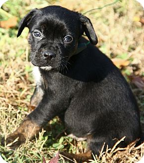 Pug Mix Puppy for Sale in Brattleboro, Vermont - Alfie