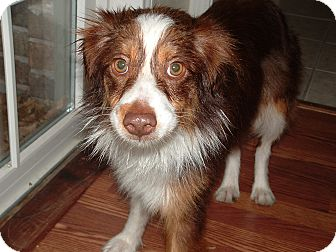 Australian Shepherd Mix Dog for Sale in Granbury, Texas - Jolene
