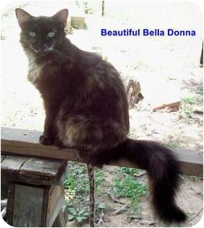 Domestic Longhair Cat for adoption in McMinnville, Tennessee - Bella Donna