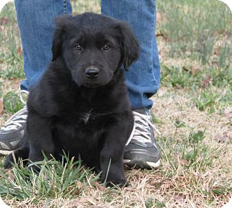 Newfoundland/Labrador Retriever Mix Puppy for Sale in Glastonbury, Connecticut - Tori~adopted~