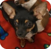 Chihuahua Dog for adption in Phoenix, Arizona - Angus - burger brother!