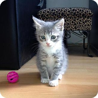 Domestic Shorthair Kitten for Sale in Richmond, Virginia - Smokey