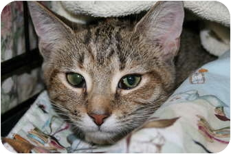 Domestic Shorthair Kitten for adoption in Walkersville, Maryland - Tawney