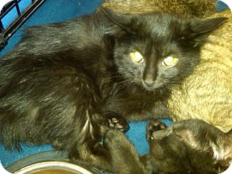 Domestic Mediumhair Kitten for Sale in Sterling Hgts, Michigan - Leia