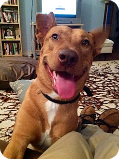 Vizsla/Pharaoh Hound Mix Dog for adption in Van Nuys, California - Cody