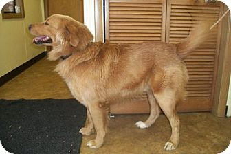 Golden Retriever Dog for Sale in Morgantown, West Virginia - Martin