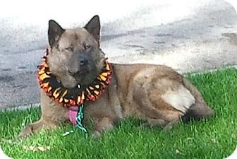Akita/Chow Chow Mix Dog for Sale in Temecula, California - Baby