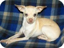 Chihuahua Mix Dog for Sale in Clear Lake, Washington - Benjamin