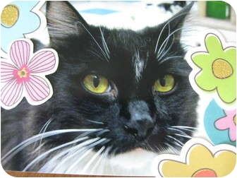 Domestic Mediumhair Cat for adoption in Brea, California - Spoon