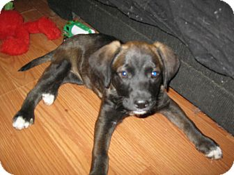 Labrador Retriever Mix Puppy for Sale in Pelham, New York - Triton