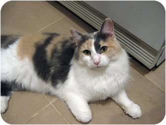 Domestic Mediumhair Cat for adoption in Columbia, Maryland - Muffitt