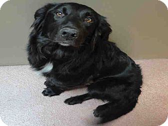 Border Collie/Labrador Retriever Mix Puppy for adption in Ogden, Utah - Manning