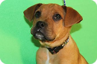Boxer Mix Puppy for Sale in Broomfield, Colorado - Moe