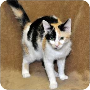 Calico Cat for Sale in Harrisburg, North Carolina - Gypsey