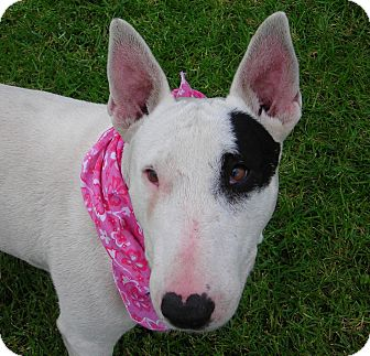 Bull Terrier Dog for Sale in El Cajon, California - Kenzie
