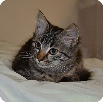Maine Coon Kitten for Sale in Vacaville, California - Rain Drop
