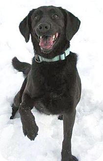 Labrador Retriever Mix Dog for adption in Lisbon, Ohio - Catalina