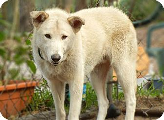 Husky/Shepherd (Unknown Type) Mix Dog for adption in Orlando, Florida - Skeeter