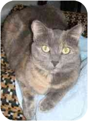 Domestic Shorthair Cat for adoption in Strathmore, Alberta - Sheba
