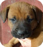 Boxer/Labrador Retriever Mix Puppy for Sale in Manchester, Connecticut - bubba ADOPTION PENIDING