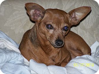 Miniature Pinscher Mix Dog for Sale in Niagra Falls, New York - Maddie UNDER 10 pounds!
