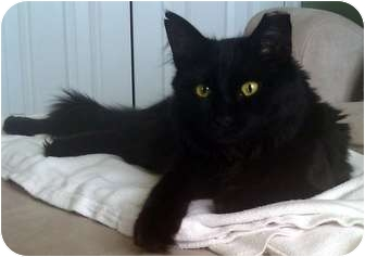 Domestic Mediumhair Cat for adoption in Alexandria, Virginia - BayeBaye