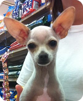 Chihuahua Puppy for Sale in Studio City, California - Abner (4lbs)