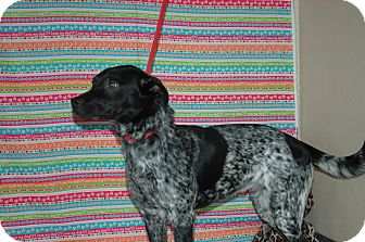 Blue Heeler Mix Dog for Sale in san antonio, Texas - Nacho