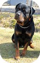 Rottweiler Dog for Sale in Tinton Falls, New Jersey - Guiness