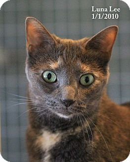 Calico Cat for adoption in Gaithersburg, Maryland - Luna Lee