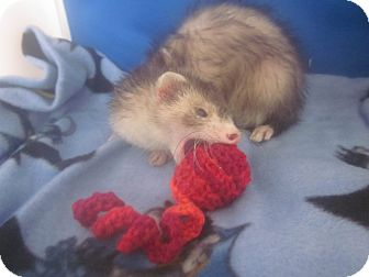Ferret for Sale in Toledo, Ohio - Kiara