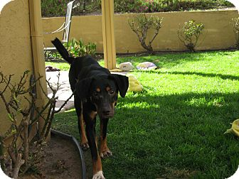 Pointer Mix Dog for adption in San Diego, California - Vo