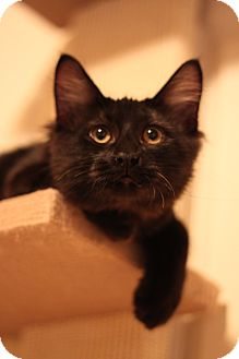 Domestic Mediumhair Cat for Sale in Edmond, Oklahoma - Kevin