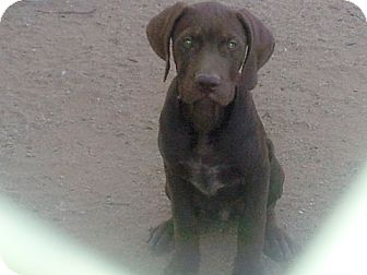 Looking for a German Shorthaired Pointer/Terrier (Unknown Type, Medium