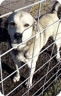 Great Pyrenees/Akita Mix Dog for adption in Moulton, Alabama - Sampson