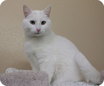 Domestic Shorthair Cat for adoption in Grants Pass, Oregon - Kennedy