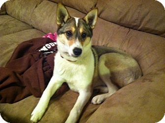 Husky/Corgi Mix Dog for Sale in Morgantown, West Virginia - Mally